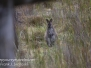 Australia Day Nineteen Bruny Island wallabies February 22 2-016