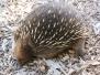 australia Tasmania bonorong Wildlife Sanctuary echidna February 21 2016