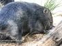 australia Tasmania Bonorong Wildlife Sanctuary wombat february 21 2016