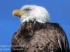 bald eagle -3