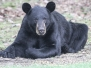 Bear August 31 2015