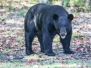 Black Bear September 15 2015