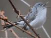 PPL Wetland  blue-gray gnatcatcher- (1 of 1).jpg