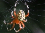 Marbled orb spider 9/11/2015