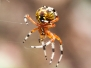 Marbled orb weaver September 26 2015