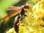 Wasp October 8 2015