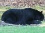 Backyard bear May 31 2016