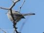 Blue gray gnat catcher
