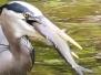 Blue heron Bucks County May 20 2016