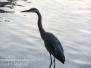 Boiling Springs blue heron Saturday July 30 2016