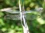 Dragonflies PPL Riverlands August 19 2016