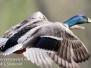Ducks Greenridge May 12 2016