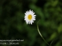 Macro walk daisies June 2016