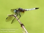 PPL Wetlands dragonflies July 22 2017