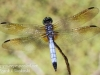 PPL Wetlands dragonflies -025