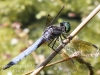 PPL Wetlands dragonflies -034