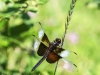 PPL Wetlands dragonflies -171