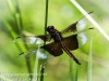 PPL Wetlands dragonflies -172