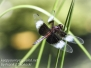 PPL Wetlands dragonflies June 24 2017