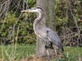 PPL Wetlands Great blue heron October 7 2017