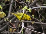 PPL Wetlands yellow warbler April 30 2016