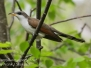 yellow billed cuckoo