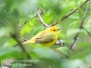 yellow warbler PPL Wetlands May 20 2017